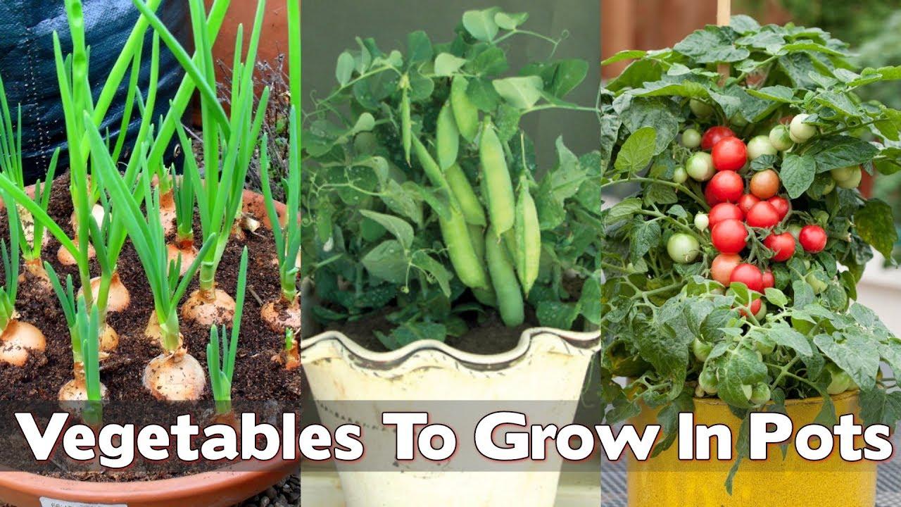 16 Top Veggies you can Grow inside House in Pots (Indoor ...